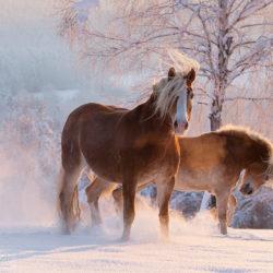 Haflingery zimą o wschodzie słońca