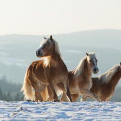 Haflingery zimą na śniegu