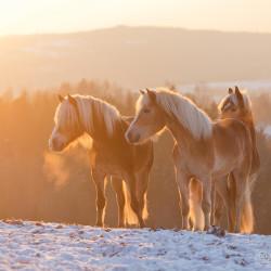 Stado haflingerów zimą na śniegu o zachodzie słońca