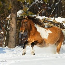Huzul gelding galloping through the snow against forest