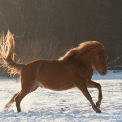 Huzul gelding galloping through the snow in winter at sunset