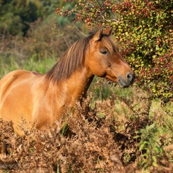 Huzul gelding standing in autumn scenery among ferns against hawthorn