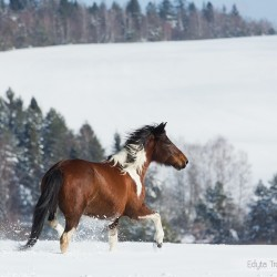 Piebald Huzul mare trotting in winter in mountains through the snow