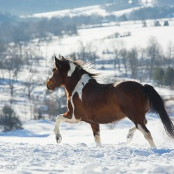 Piebald Huzul mare trotting in winter in mountains through the snow in backlight