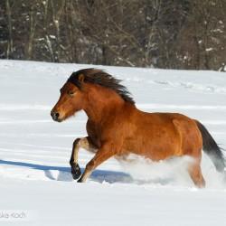 Gniada klacz huculska galopująca zimą po śniegu w Bieszczadach equine photography zdjęcia koni