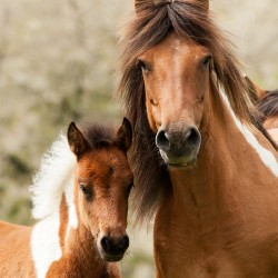 Portrait of piebald Huzul mare with foal in spring scenery