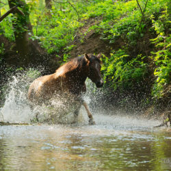 Srokaty hucuł kłusujący latem w strumieniu