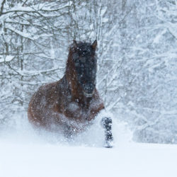 Huzul gelding trotting through the snow in the blizzard