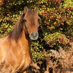 Portret wałacha huculskiego jesienią na tle czerwonego głogu