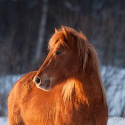 Portret kasztanowatego hucuła zimą o zachodzie słońca equine photography zdjęcia koni