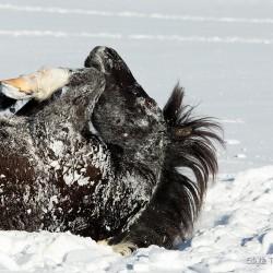 Srokaty wałach huculski tarzający się zimą w śniegu