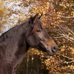 Portrait of Huzul mare in autumn against yellow trees