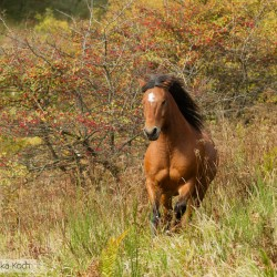 Huzul gelding galloping in autumn scenery against red hawthorn