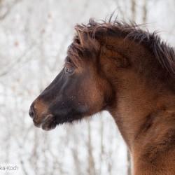 Portret ganiadego wałacha huculskiego zimą na tle szadzi equine photography zdjęcia koni