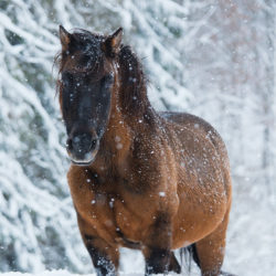 Huzul gelding standing in the falling snow