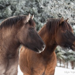 Portrait of Huzul horses in winter scenery against trees
