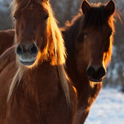Portrait of Huzul horses in winter scenery at sunset