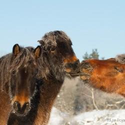 Portret oszronionych podskubujących się hucułów zimą w Bieszczadach equine photography zdjęcia koni