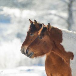 Zimowy portret hucułów