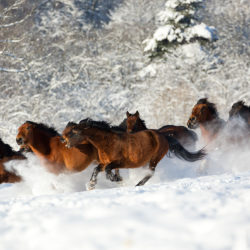 Huzuls herd galloping in winter through the snow