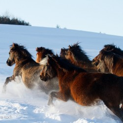 Herd of Huzul horses galloping through the snow in Bieszczady mountains
