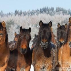 Portret oszronionych hucułów zimą w Bieszczadach equine photography zdjęcia koni