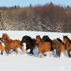 Herd of Huzul horses trotting through the snow
