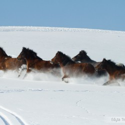 Huzuls herd galloping through the snow in Bieszczady mountains