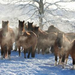 Stado hucułów zimą w Bieszczadach o poranku