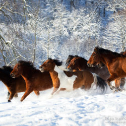 Huzuls herd galloping in the winter through the snow