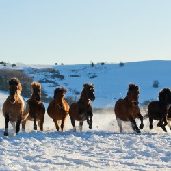 Herd of Huzul horses galloping through the snow in winter