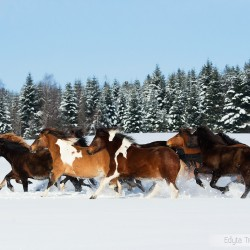 Herd of Huzul horses galloping through the snow in winter against the forest