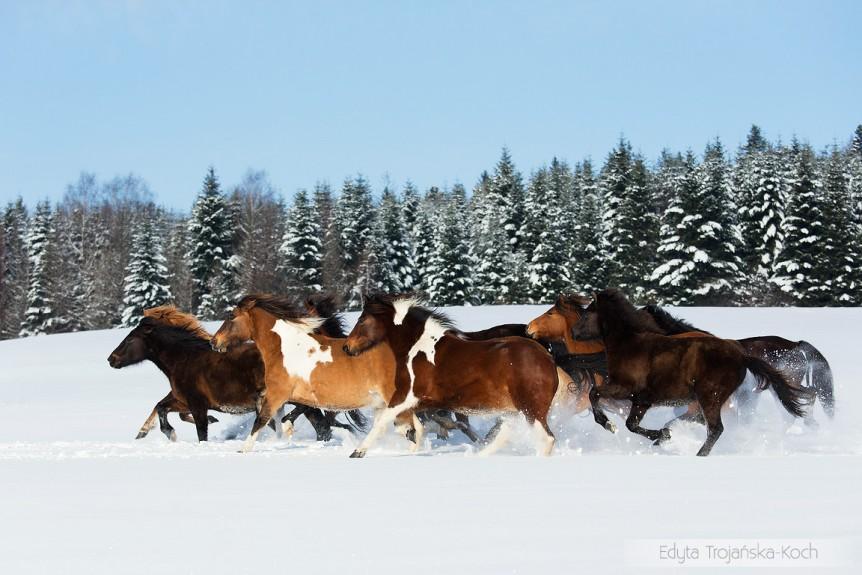 Stado hucułów galopujące zimą w Bieszczadach po śniegu na tle świerków