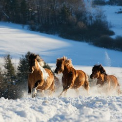Herd of Huzul horses galloping through the snow in winter at sunrise