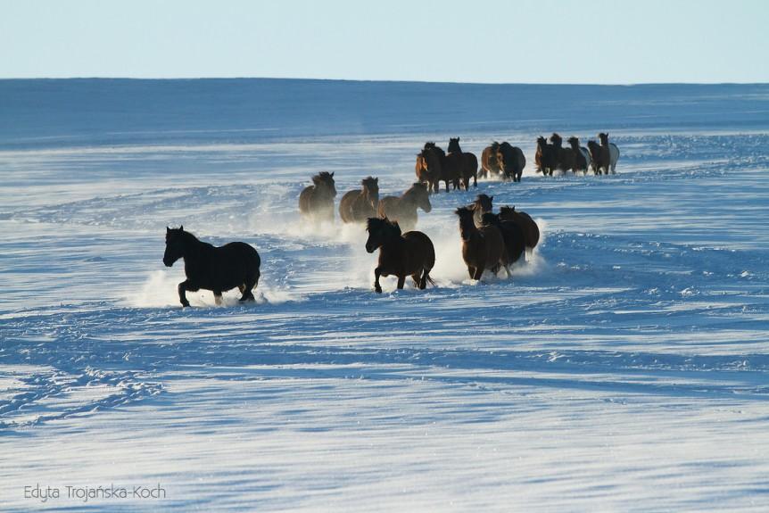 Stado hucułów kłusujące zimą po śniegu w Bieszczadach equine photography zdjęcia koni