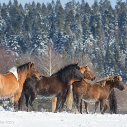 Herd of Huzul horses standing in snow in mountains against the forest