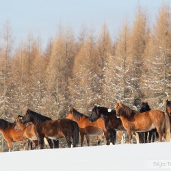 Herd of Huzul horses standing in snow in mountains against larches