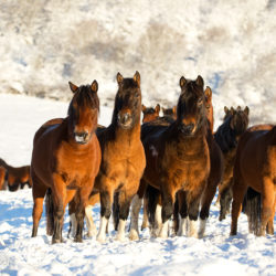 Huzuls herd in winter in the mountains