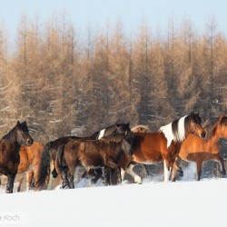 Herd of Huzul horses walking through the snow in mountains against larches