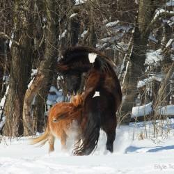 Wałachy huculskie walczące zimą w śniegu w Bieszczadach na tle lasu equine photography zdjęcia koni