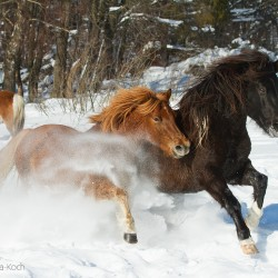 Huzul geldings playing in snow in Bieszczady mountains