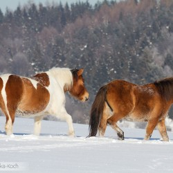 Huzul horses walking in snow in Bieszczady mountains