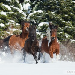 Huzuls in winter galloping through the snow against the forest