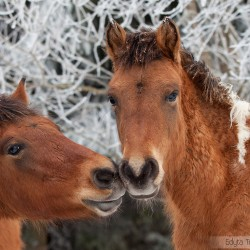 Huzul colts nuzzling in winter scenery