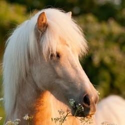 Portret izabelowatej klaczy kuca islandzkiego wiosną wśród kwiatów equine photography zdjęcia koni