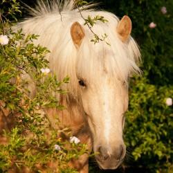Portret klaczy kuca islandzkiego stojącej wiosną wśród kwitnącej dzikiej róży equine photography zdjęcia koni