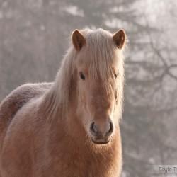 Portret izabelowatej klaczy kuca islandzkiego zimą na tle drzew equine photography zdjęcia koni