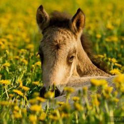 Portret źrebaka luca islandzkiego wiosną na łące w kwitnących mleczach equine photography zdjęcia koni