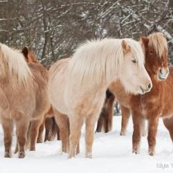 Stado klaczy kuca islandzkiego stojące w śniegu na zimowym pastwisku