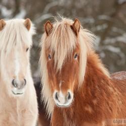 Zimowy portret dwóch klaczy kuca islandzkiego